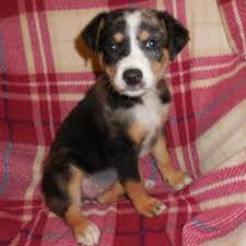 australian shepherd 6 monate fell 215 besten puppies available adoption bilder auf pinterest