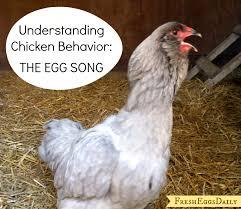 understanding chicken behavior interpreting the egg song