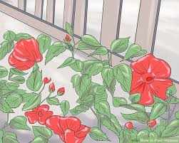 Which State Has A Hibiscus by How To Plant Hibiscus 11 Steps With Pictures Wikihow