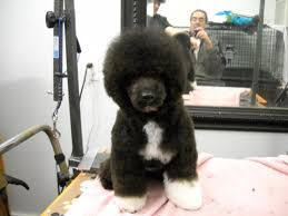 different styles of hair cuts for poodles what kind of cut to get for a poodle mix pup poodle forum