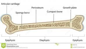 Human Anatomy Diagram Download Labeled Diagram Of Long Bone Tag Long Bone Labeled Diagram Human