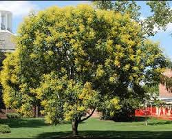 a list of flowering trees divided by color size bloom season