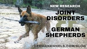 australian shepherd joint problems new research on early neutered german shepherds and joint