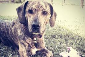bluetick coonhound pitbull mix treeing tennessee brindle dog breed information pictures