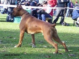 boxer dog european babybull boxers it u0027s all about quality breeding