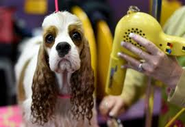 who won the dog show on thanksgiving picture the 140th annual westminster kennel club dog show abc news