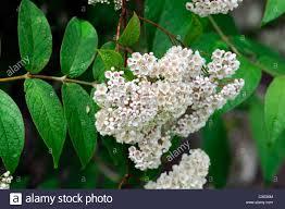 White Flowering Shrub - deutzia scabra eburnea white flowers flowering shrubs bushes