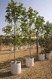 24 best barcham trees container grown in white light pots