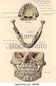 Human Jaw Bone Anatomy Jaw Bones Stock Photos U0026 Jaw Bones Stock Images Alamy