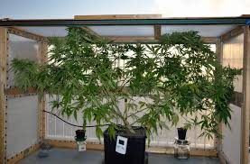 ic strain guide cimetempestose u0027s jamaican pearl cannabis grow