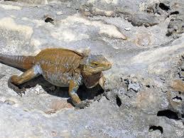 Iguana Island Cyclura Rileyi Rileyi San Salvador Rock Iguana Green Ca U2026 Flickr