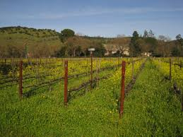 napa valley ground mustard signs of mustard in the napa valley the macrochef