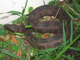 Backyard Reptiles Florida Snake Photograph Brown Water Snake Reptiles
