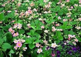 the best garden ground cover plants ideas
