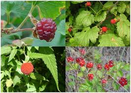 plants native to new york raspberry wikipedia