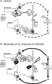 independent presynaptic and postsynaptic mechanisms regulate
