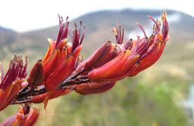 native nz plants harakeke flax