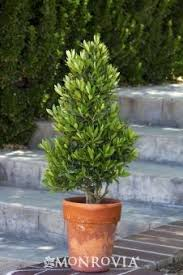 fast growing deer resistant evergreen trees evergreen porch and