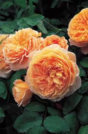 Fragrant Rose Plants - best english roses for partial shade