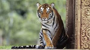wallpapers tiger hd group 90