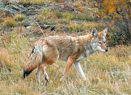 Tennessee wild animals images Did tennessee wildlife officials introduce coyotes to the wild jpg