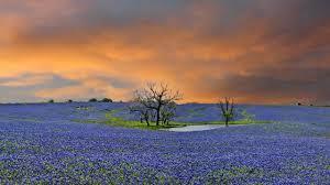 Bluebonnet Flowers - bluebonnet trail texas a sea of blue flowers youtube