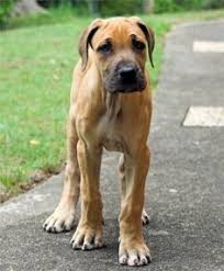 Blind Great Dane I Really Want Another Great Dane Cute Animals Pinterest