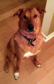 belgian sheepdog golden retriever mix australian cattle dog mix with golden retriever allmutt com