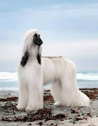 afghan hound weight best 25 afghan hound ideas on pinterest hound dog breeds