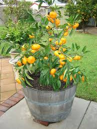 79 best citrus trees in pots images on citrus trees
