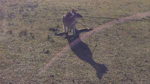 kangaroo arrow attack at morisset newcastle herald