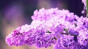 Lilca by Nature Flowers Syringa Lilac 6969273