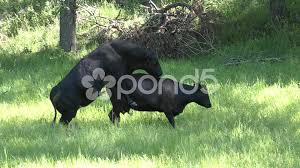 video sexual reproduction and mating by bull and cow cattle