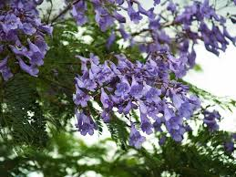 tree with purple flowers is of s flowering trees
