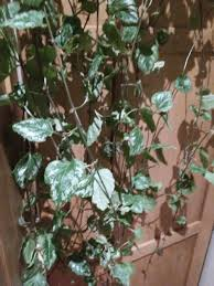 Indoor Vine Plant Plant Id Forum Indoor Vine Needs Identification Garden Org
