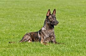 belgian sheepdog and cats dutch shepherd