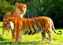 liger u003d crossbreeding lion u0026 tigress