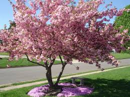 Landscaping Ideas Around Trees Pictures by Creeping Phlox For Under The Tree In Our Front Yard Ideas For