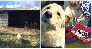 The Healing Barn Mama Dog Is Depressed When 7 Puppies Die In Barn Fire Then They