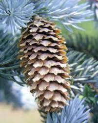 blue spruce colorado state tree colorado blue spruce
