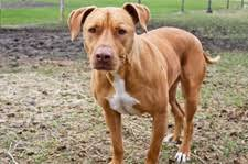 american pit bull terrier history pit bull terrier history and health