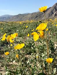 anza borrego super bloom the super bloom has arrived at anza borrego desert state park
