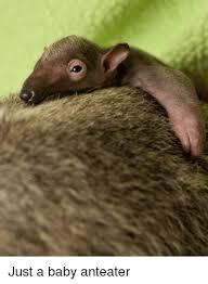 Anteater Meme - just a baby anteater anteater meme on sizzle