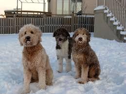 shedding an australian shepherd aussiedoodle australian shepherd and poodle mix spockthedog com