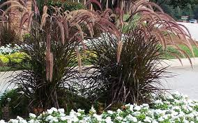 landscaping with purple grass members
