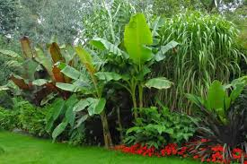 how to grow bananas outside in the uk the garden of eaden
