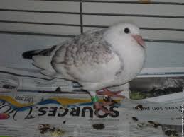 cuisine des pigeons voyageurs pigeon voyageur blogs fr le multimédia 100 facile et gratuit
