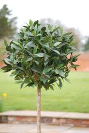 Bay Tree Topiary Plantart Artificial Bay Leaf And Leaves