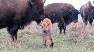 Bison Connect Department Of Interior Weekly Wrap Up November 10 November 16 2017 U S Fish And