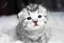 beautiful kittens beautiful kitten portrait baby kitten with lovely sad eyes stock